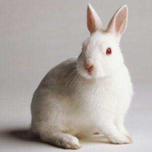 خرگوش آزمایشگاهی